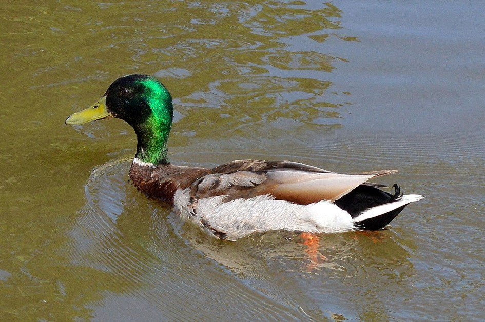 Duck - River - Windsor