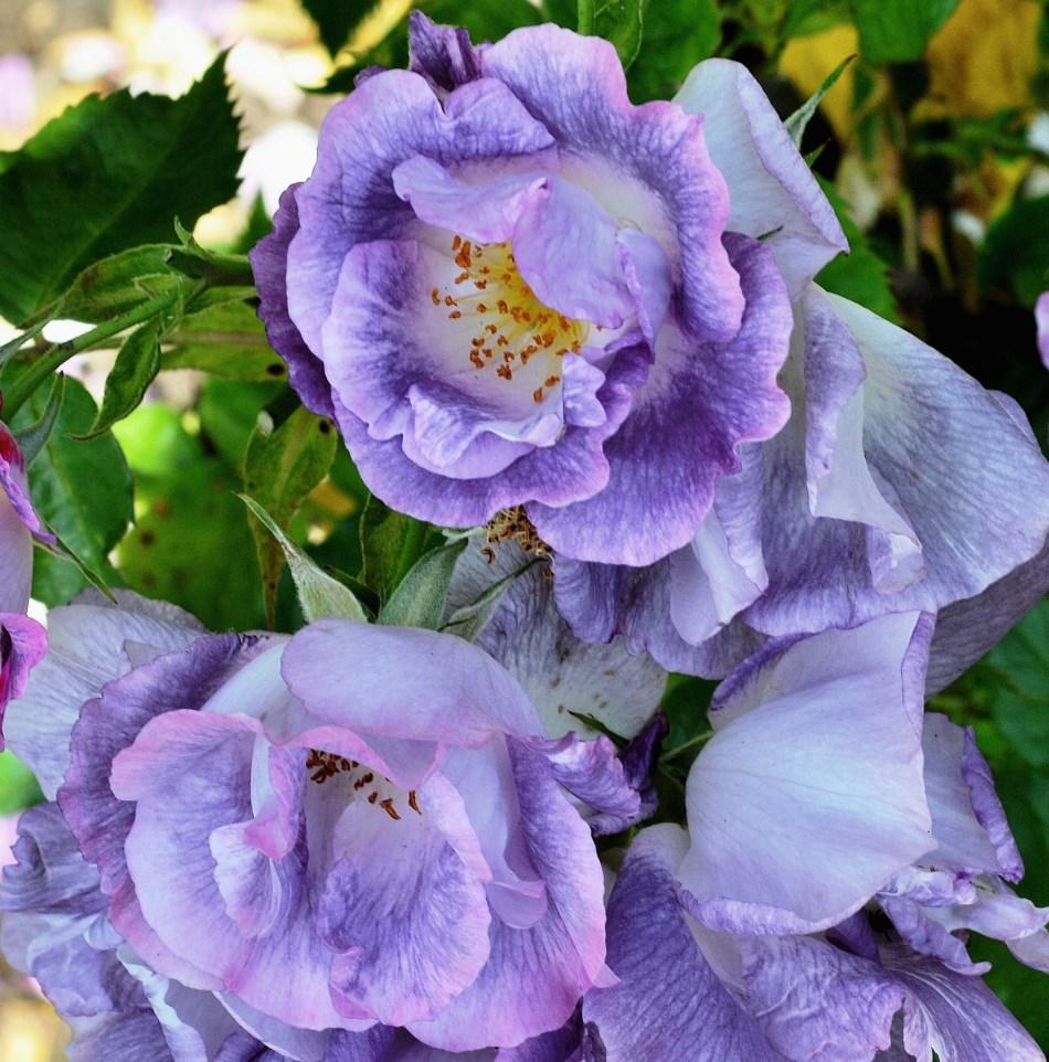 Flowers - Hampton Court