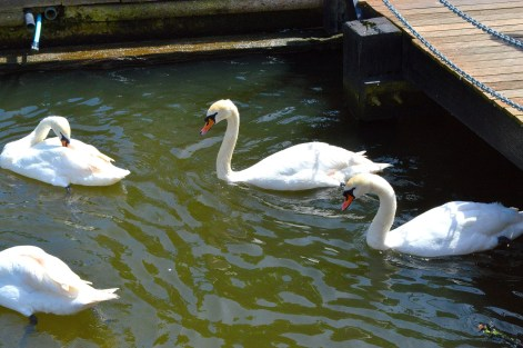 Swans 2 - Bridge - River - Windsor