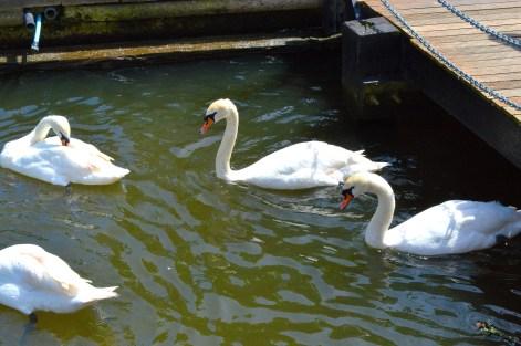 Swans 2 - Bridge - River - Windsor