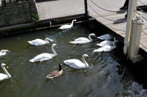 Swans - Bridge- River -Windsor