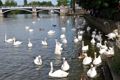 Swans - River -Windsor