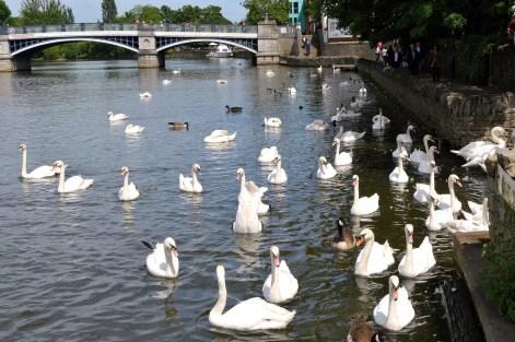 Swans - River -Windsor