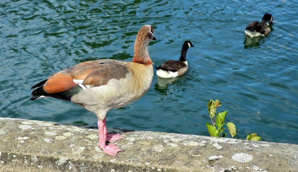 Egyptian Goose 1 - Kew Gardens