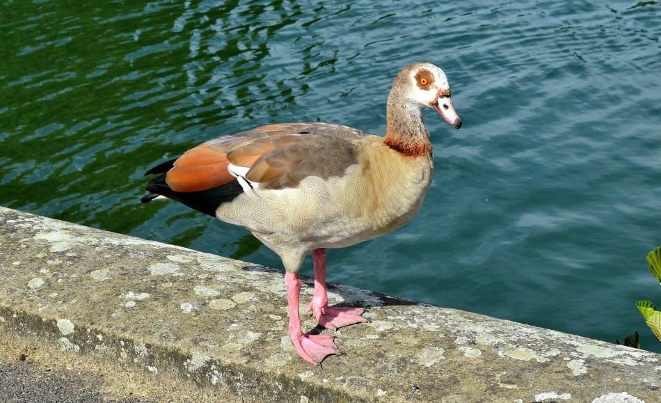 Egyptian Goose 2 - Kew Gardens
