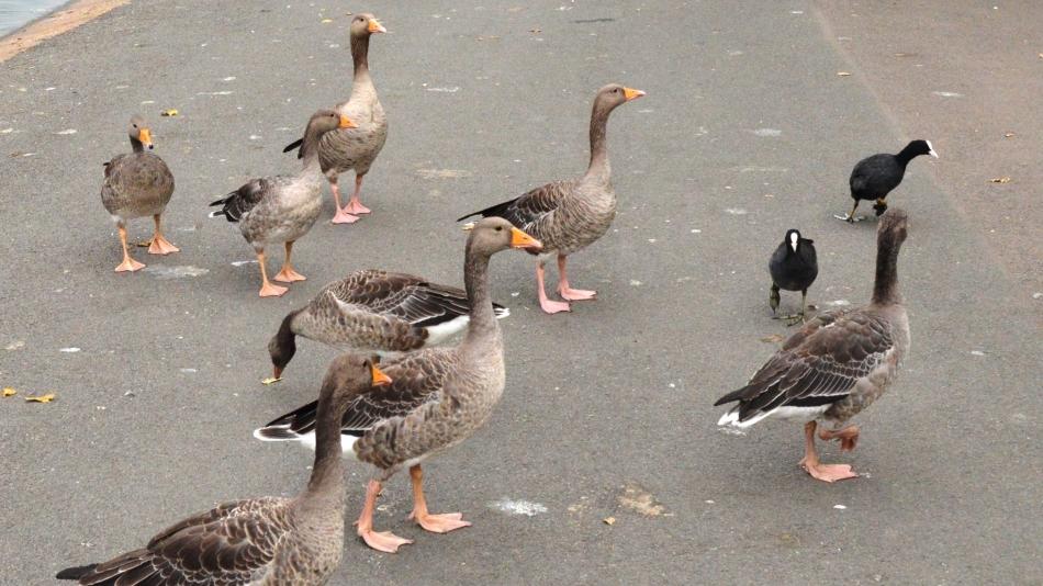 Greylag Geese 1- Regents Park