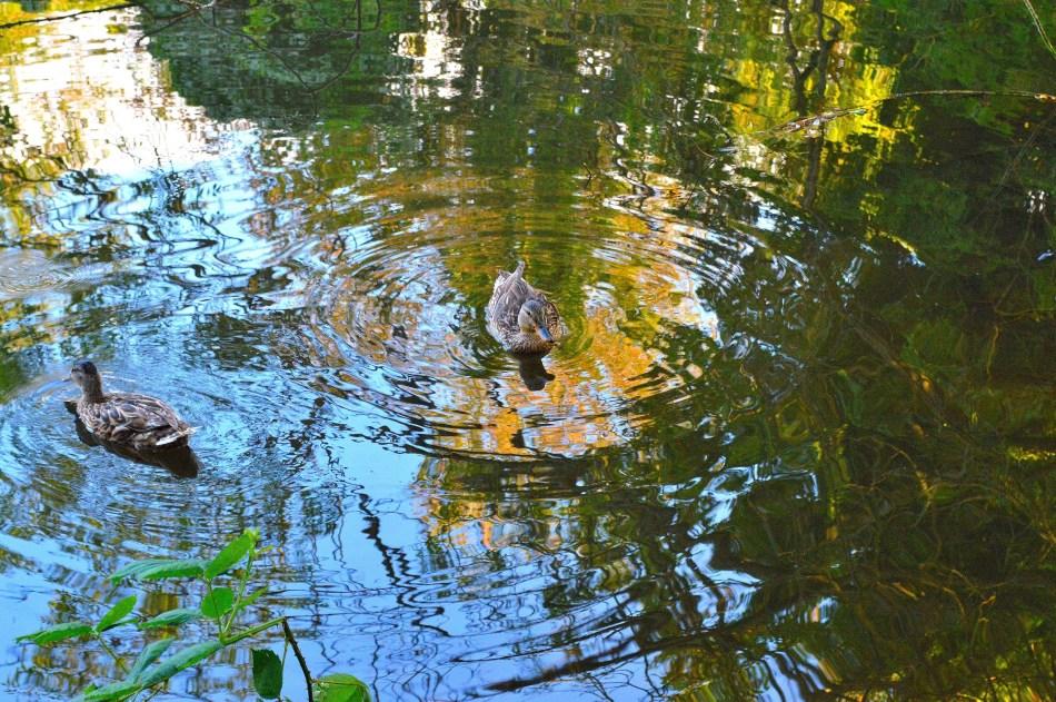Bushy Park Ducks