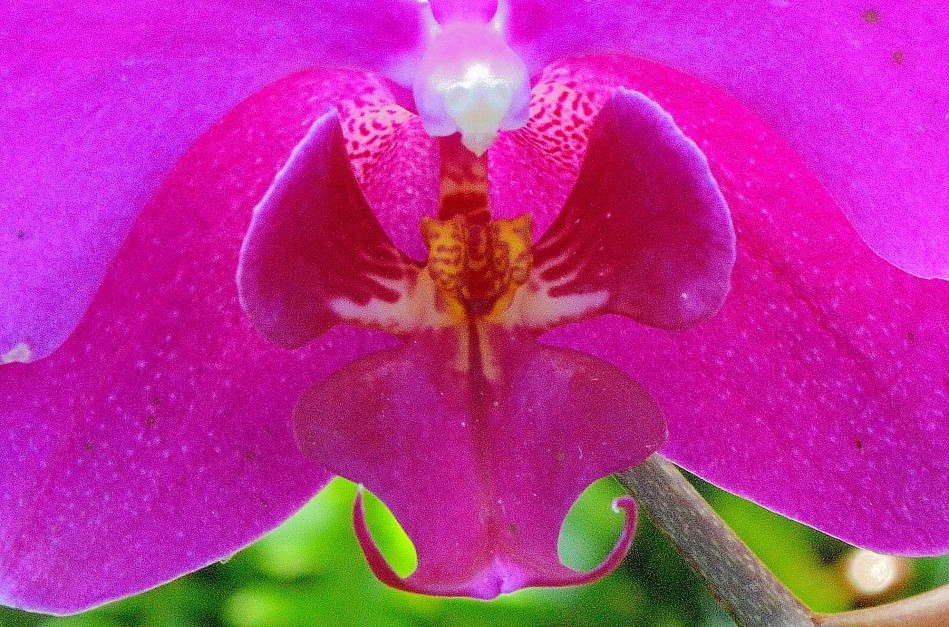 Heart of Orchid