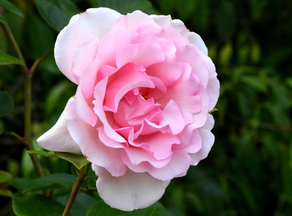 Kew Gardens Rose