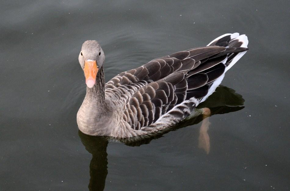 Grayling Goose