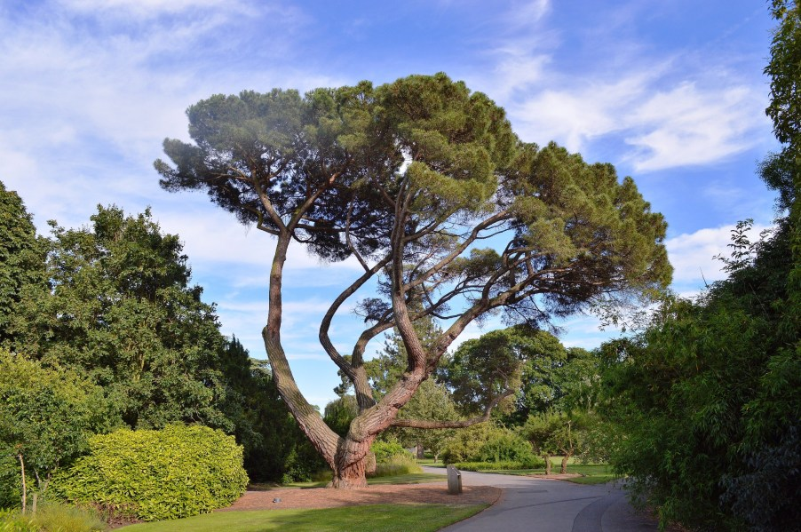 Kew Gardens Tree