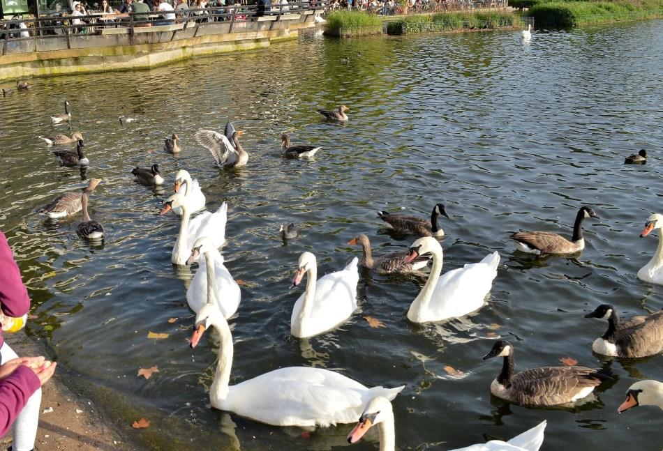 Swans - Kensington Gardens