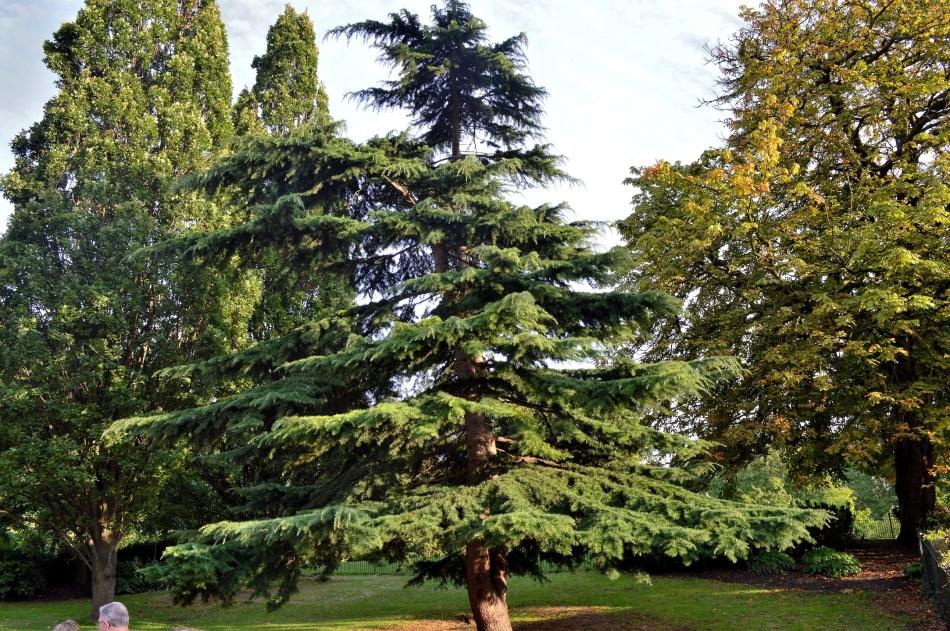 Tree - Kensington Gardens