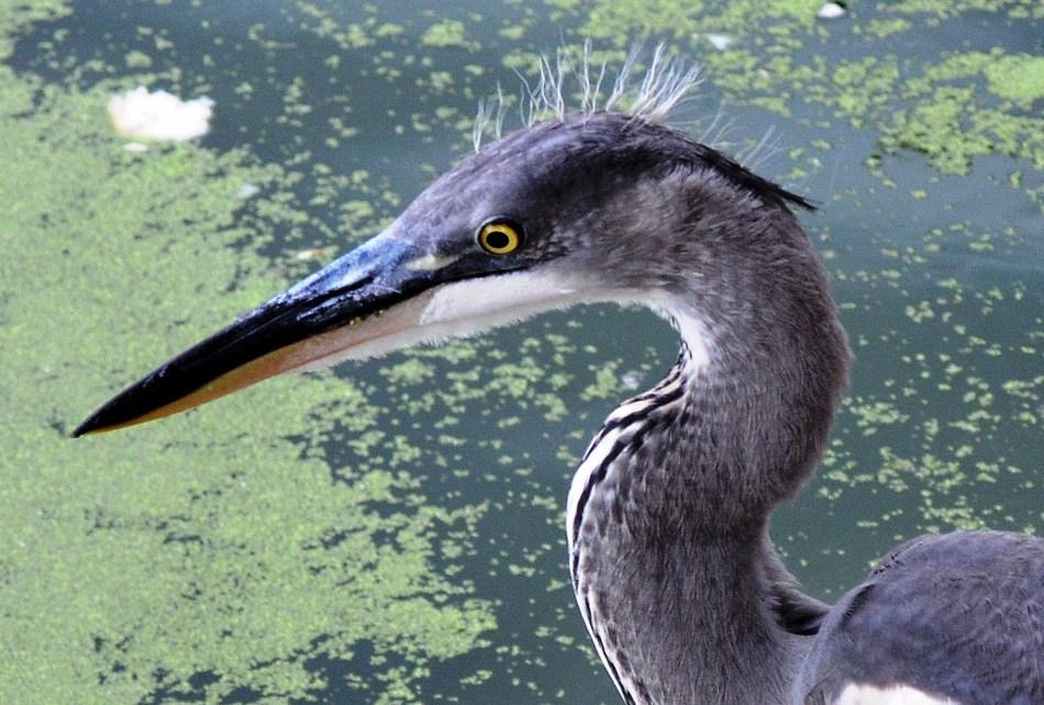 Heron Head