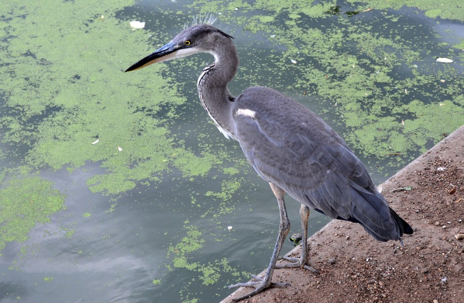 Heron Turned