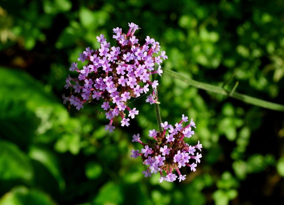 Kensington Garden Flower 6