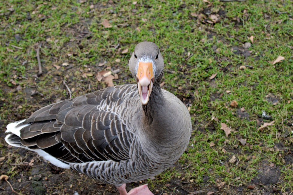 Surprised Goose