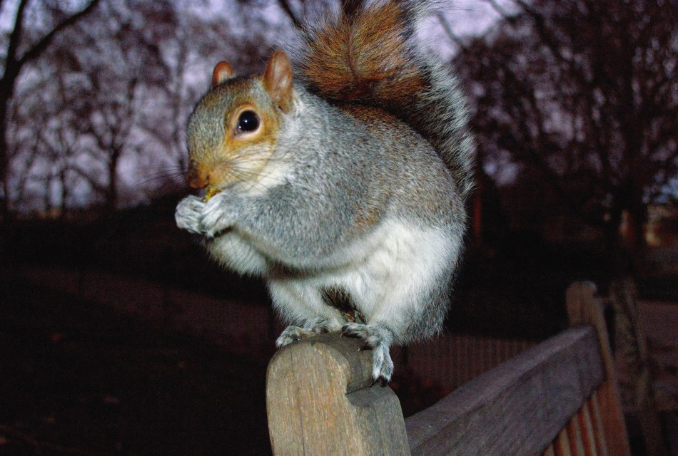 Squirrel by Flash