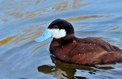 Ruddt Duck 2