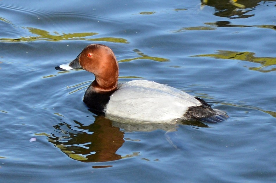 Duck St James Park 2
