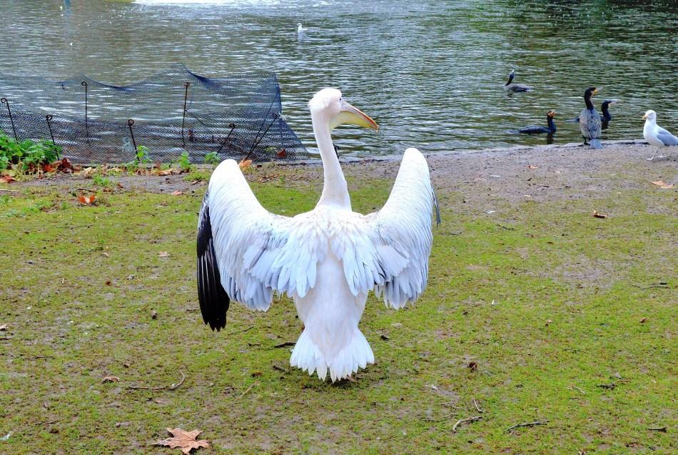 St James Park - Pelicans