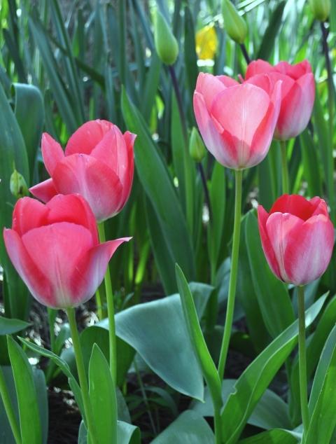 Tulips 1jpg