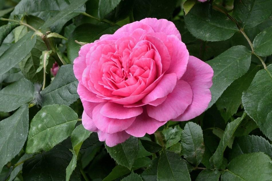 Geffrye Museum - Rose 6