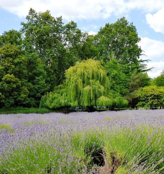 Lavender Field - Vauxhall Park
