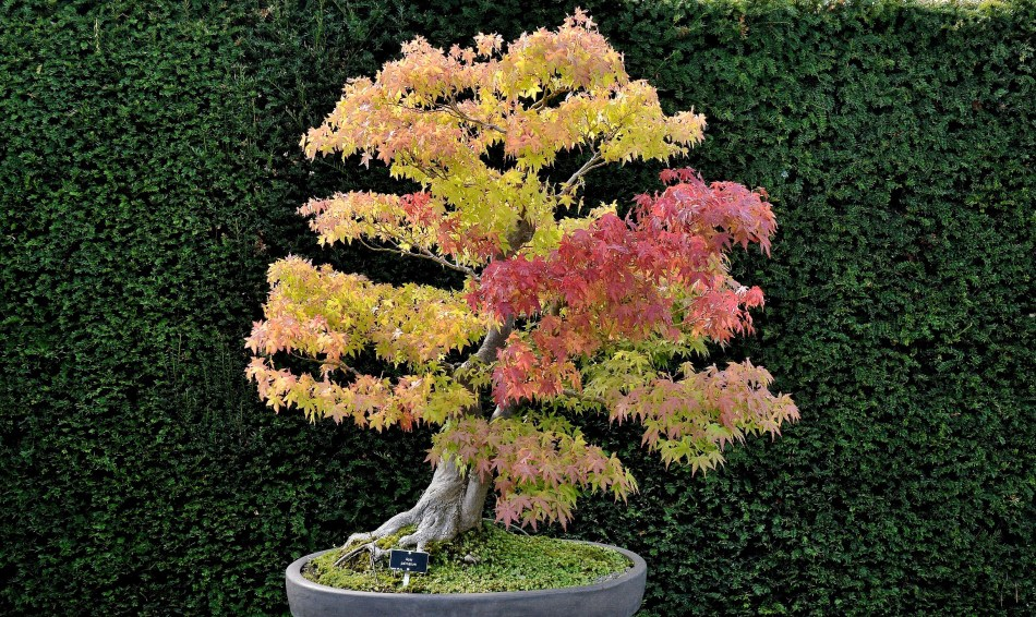 Acer Palmatum - Japanese Maple Bonsai