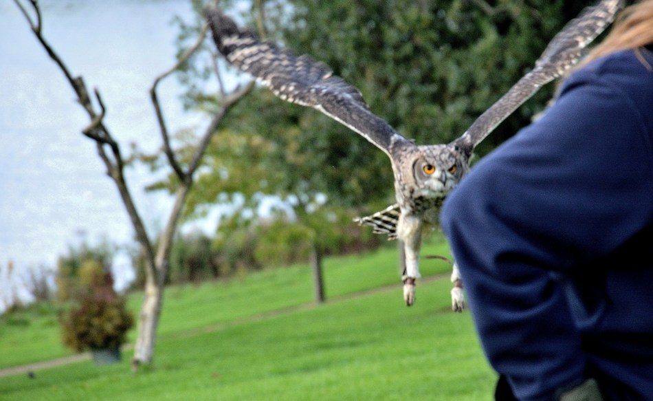 Flying Owl at Leeds Castle