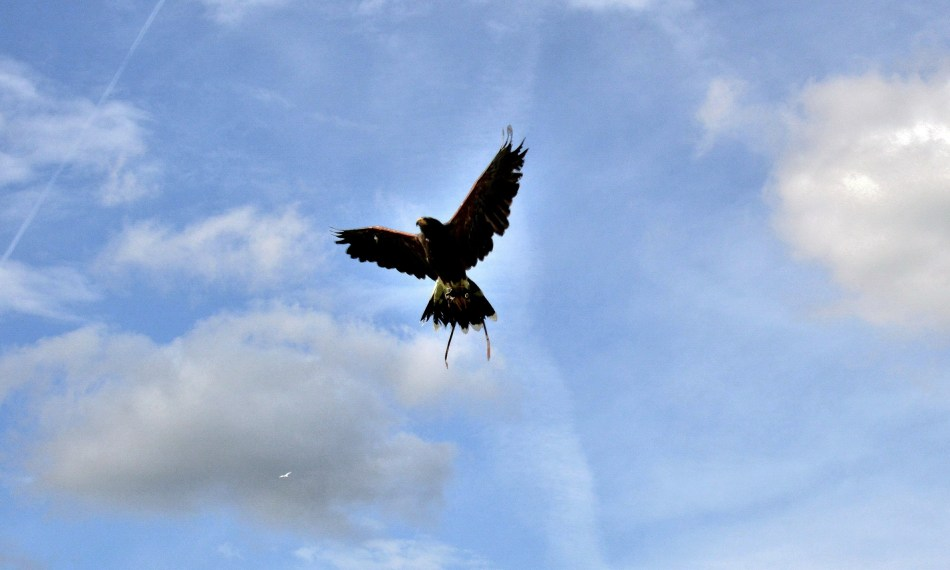 Harris Hawk 2 at Leeds Castle