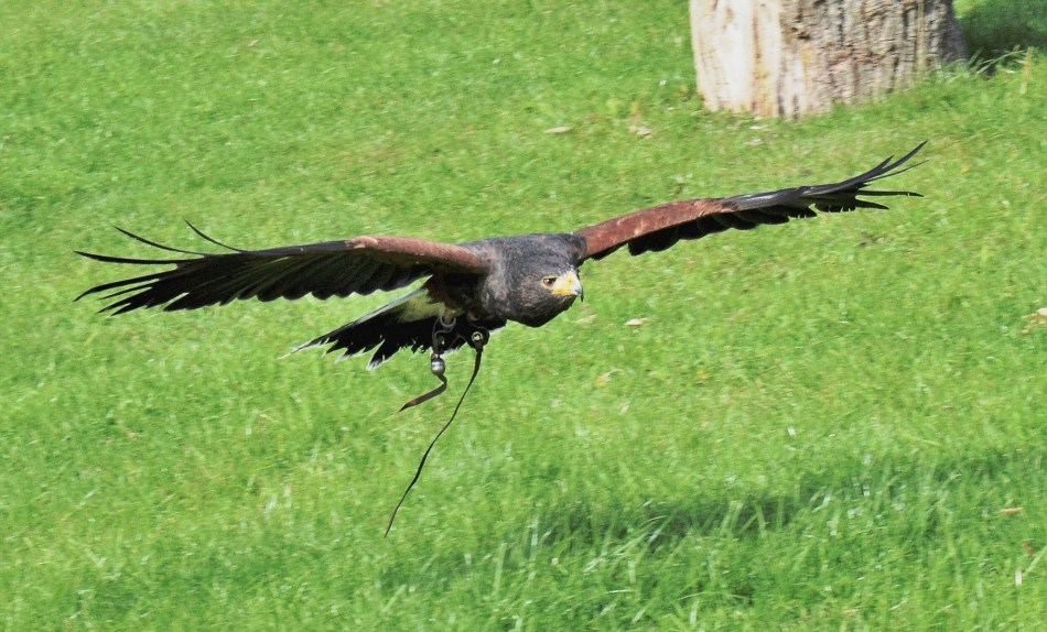 Harris Hawk Flying at Leeds Castle