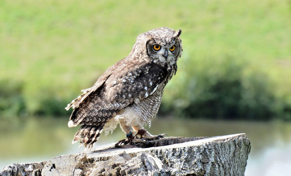 Owl at Leeds Castle