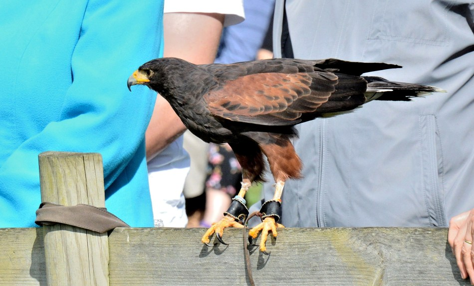 Perched Harris Hawk at Leeds Castle