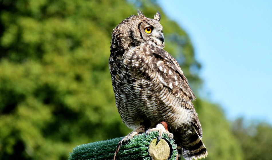 Tufted Owl at Leeds Castle