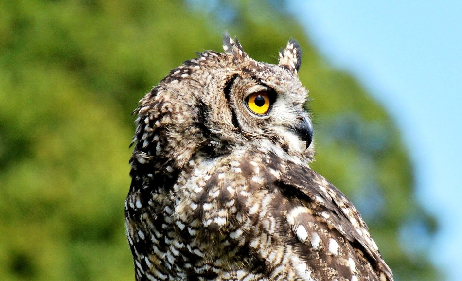 Tufted Owl Close Up at Leeds Castle