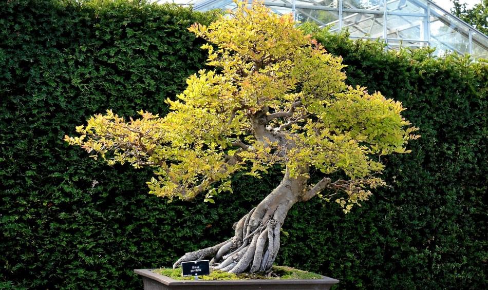 Ulmus Parvifolia - Chinese Elm Bonsai