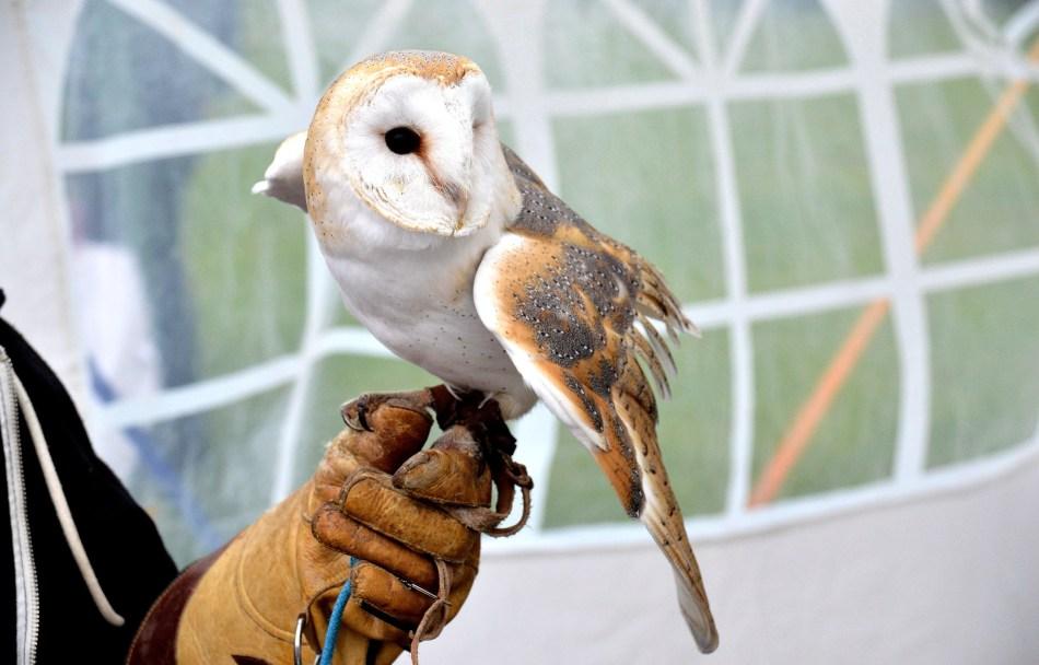 Barn Owl DSC_0798