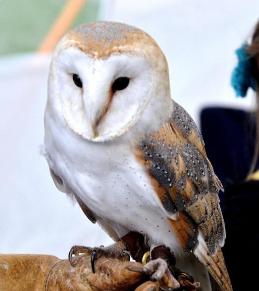 Barn Owl DSC_0802