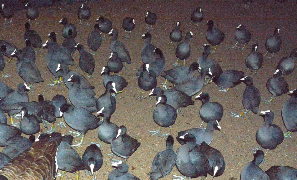 Coots in Dark 2
