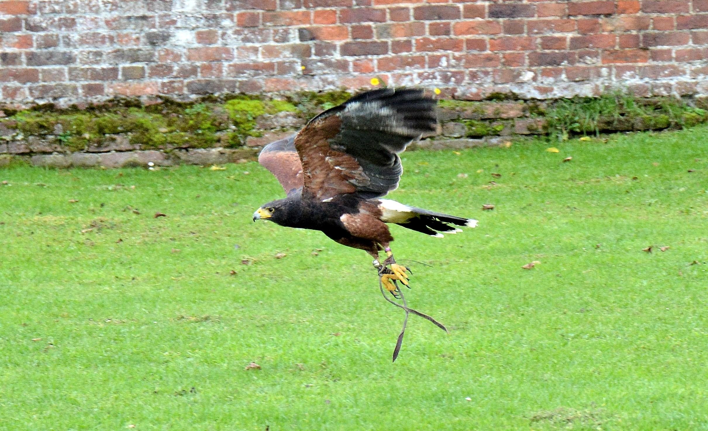 Harris hawk hunting