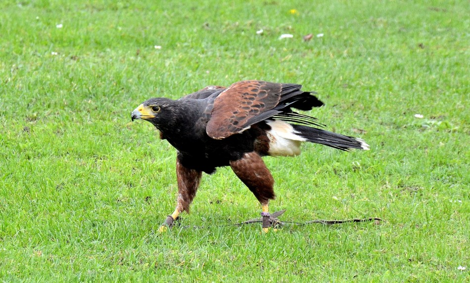 harris-hawk-walking-dsc_0912.