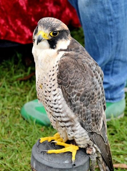Peregrine Falcon DSC_0792