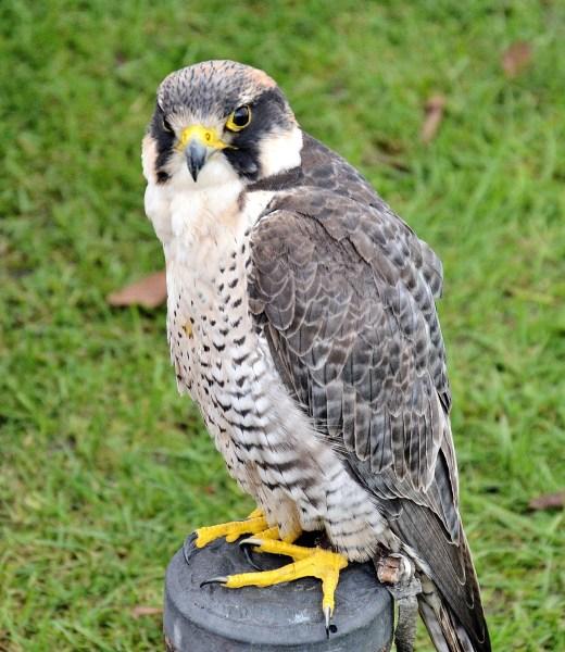 Peregrine Falcon DSC_0804