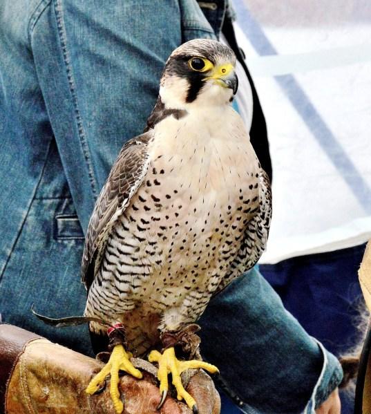 Peregrine Falcon DSC_0828