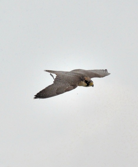 Peregrine Falcon Flying DSC_0945