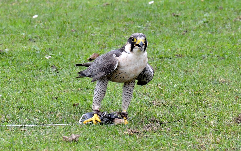 Peregrine Falcon Standing DSC_0959