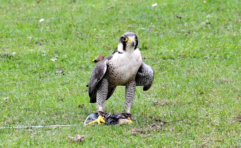 Peregrine Falcon Standing DSC_0960