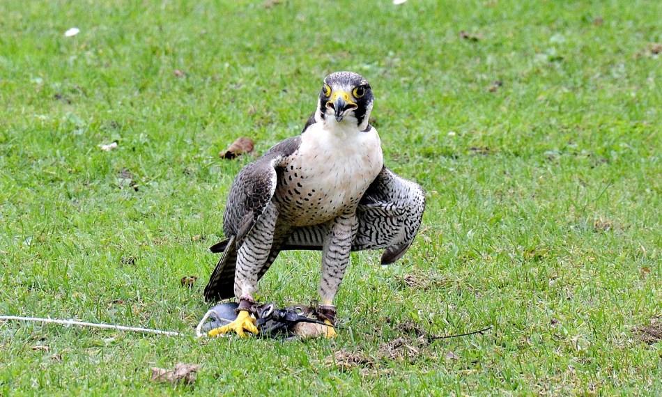 Peregrine Falcon Standing DSC_0962
