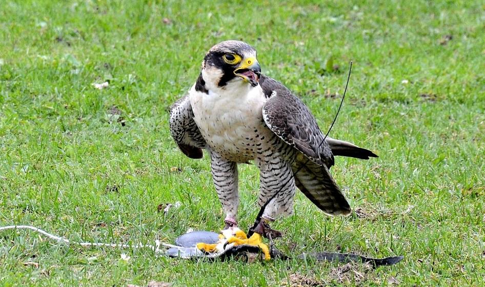 Peregrine Falcon Standing DSC_0968